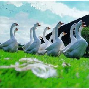 China Drum - Goosefair (1996)